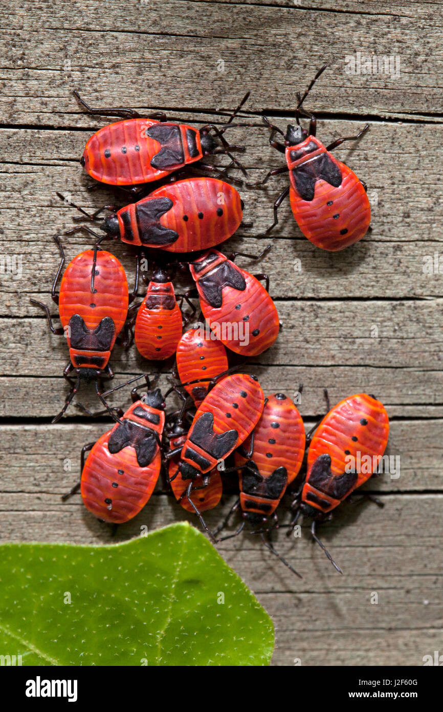 Firebug auf Holz Stockbild