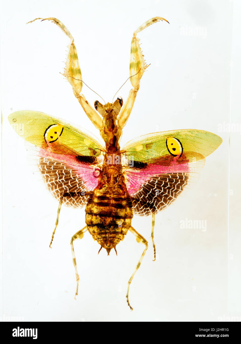 Blume-Mantis im Harz Stockbild