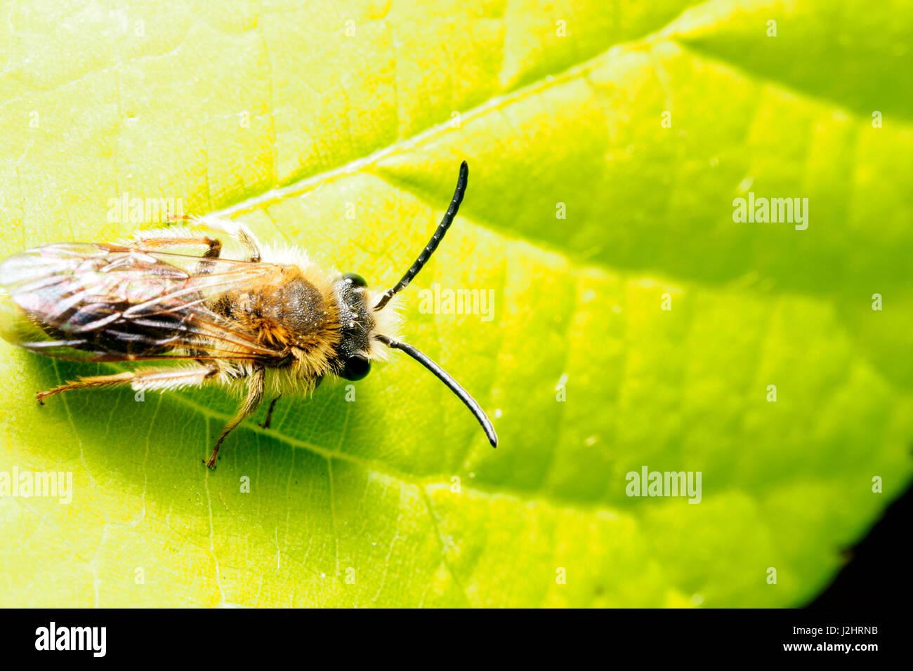Andrena Dorsata - London, England Stockbild