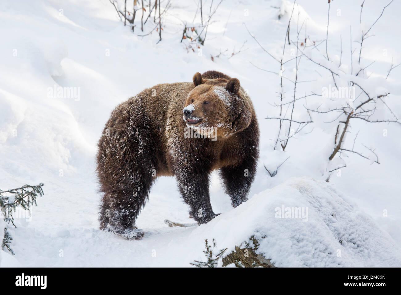 Europäischer Braunbär (Ursus Arctos Arctos) auf Nahrungssuche im Schnee im Winter / Frühjahr Stockbild