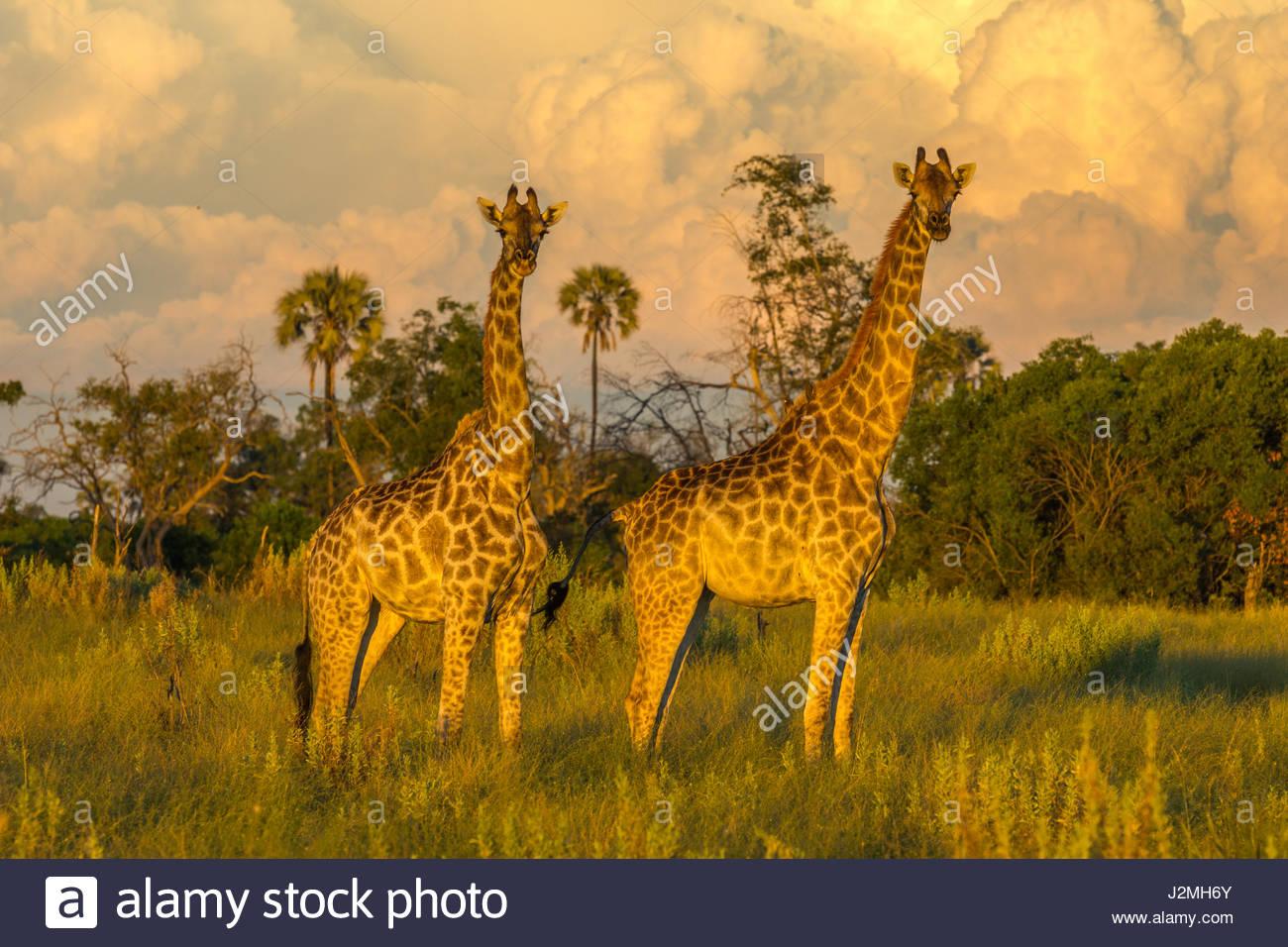 Ein paar der Giraffe in der Abendsonne als Gewitterwolken versammeln sich hinter ihnen. Stockbild