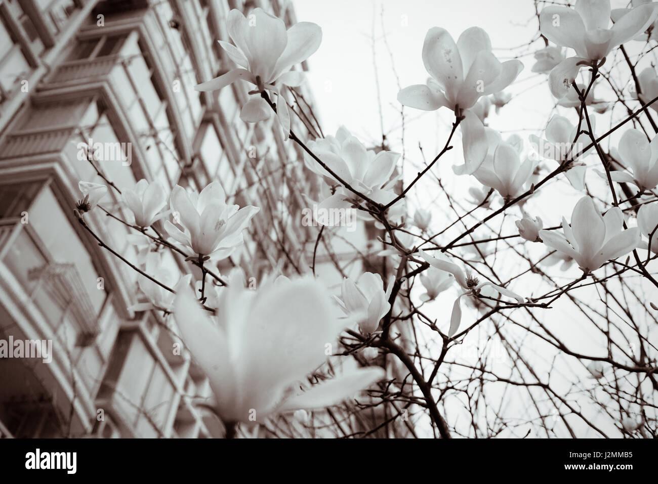 magnolia blumen im fr hling schwarz wei stockfoto. Black Bedroom Furniture Sets. Home Design Ideas