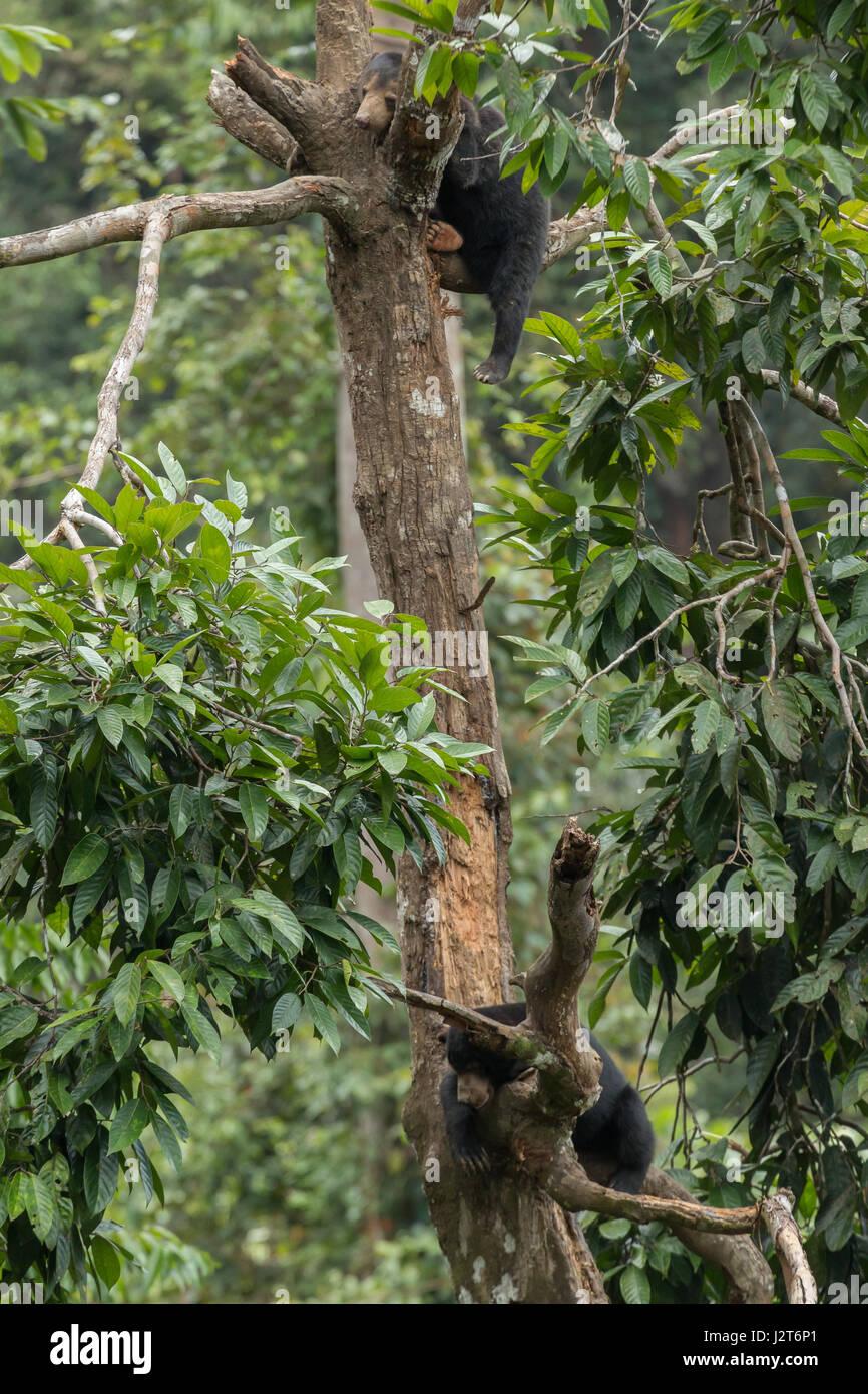 Malaienbären (Helarctos Malayanus) in einem Heiligtum in Borneo, Malaysia Stockfoto