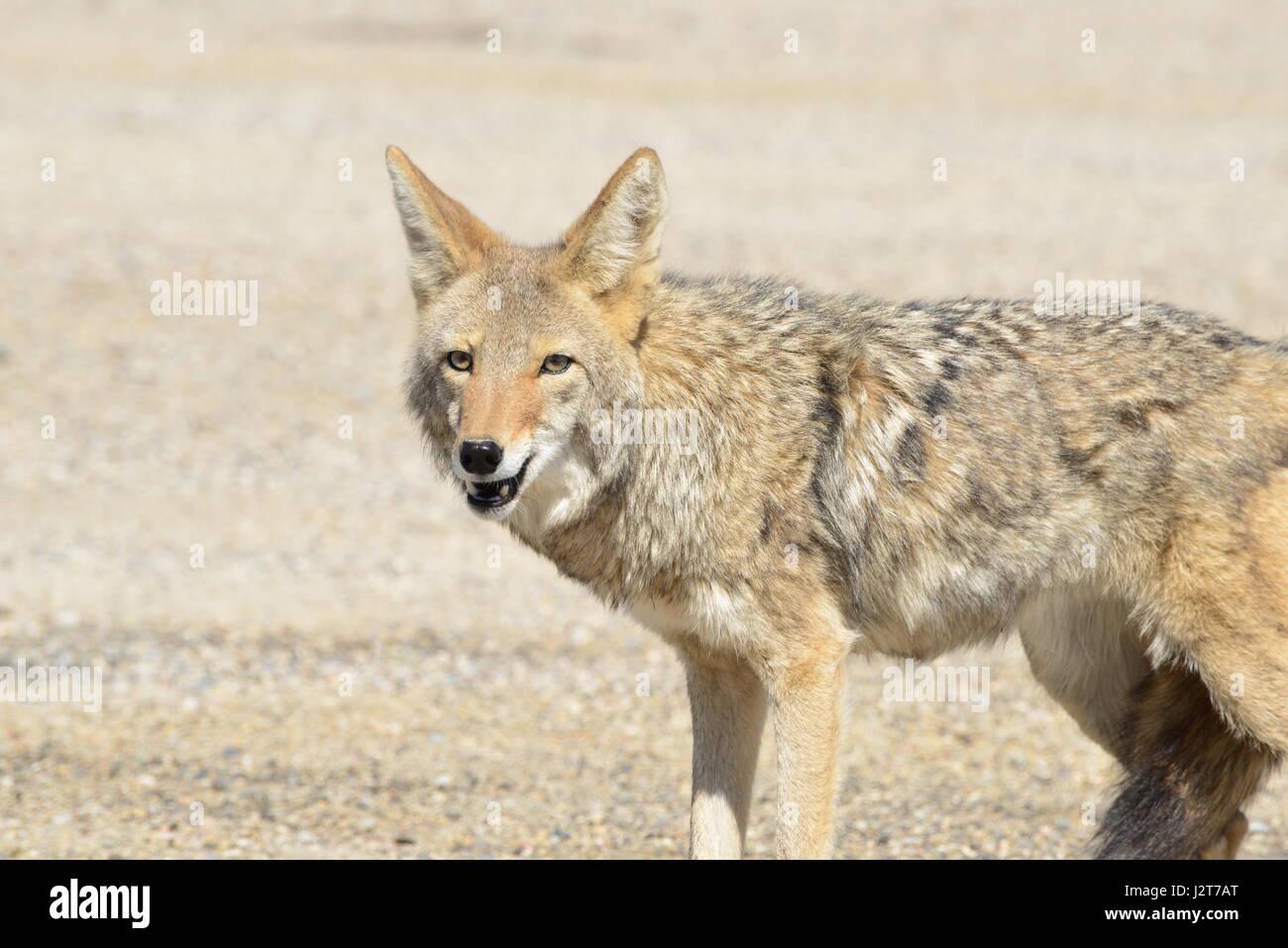 Coyote Stockbild