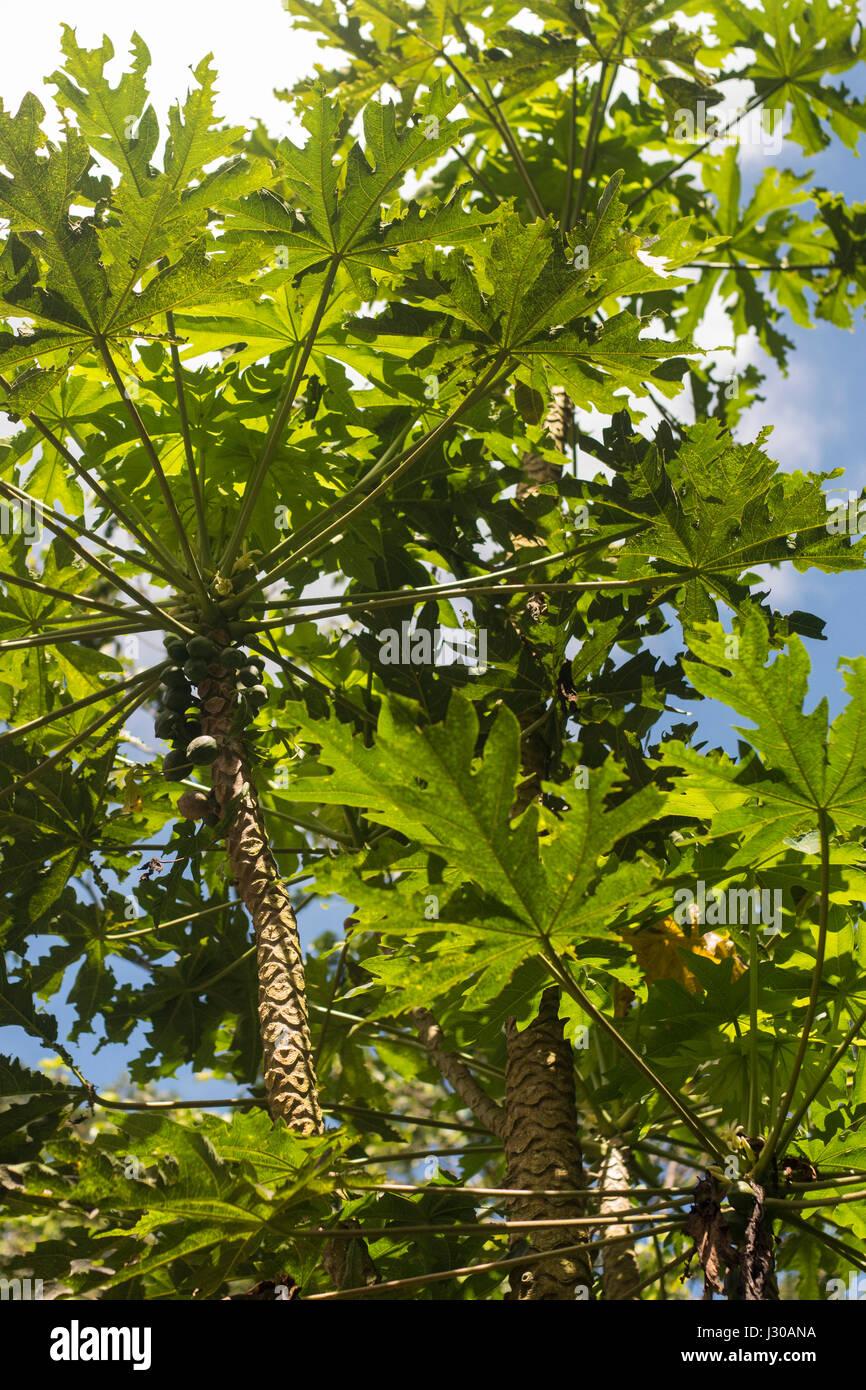 Papaya in Wild wachsenden Stockbild