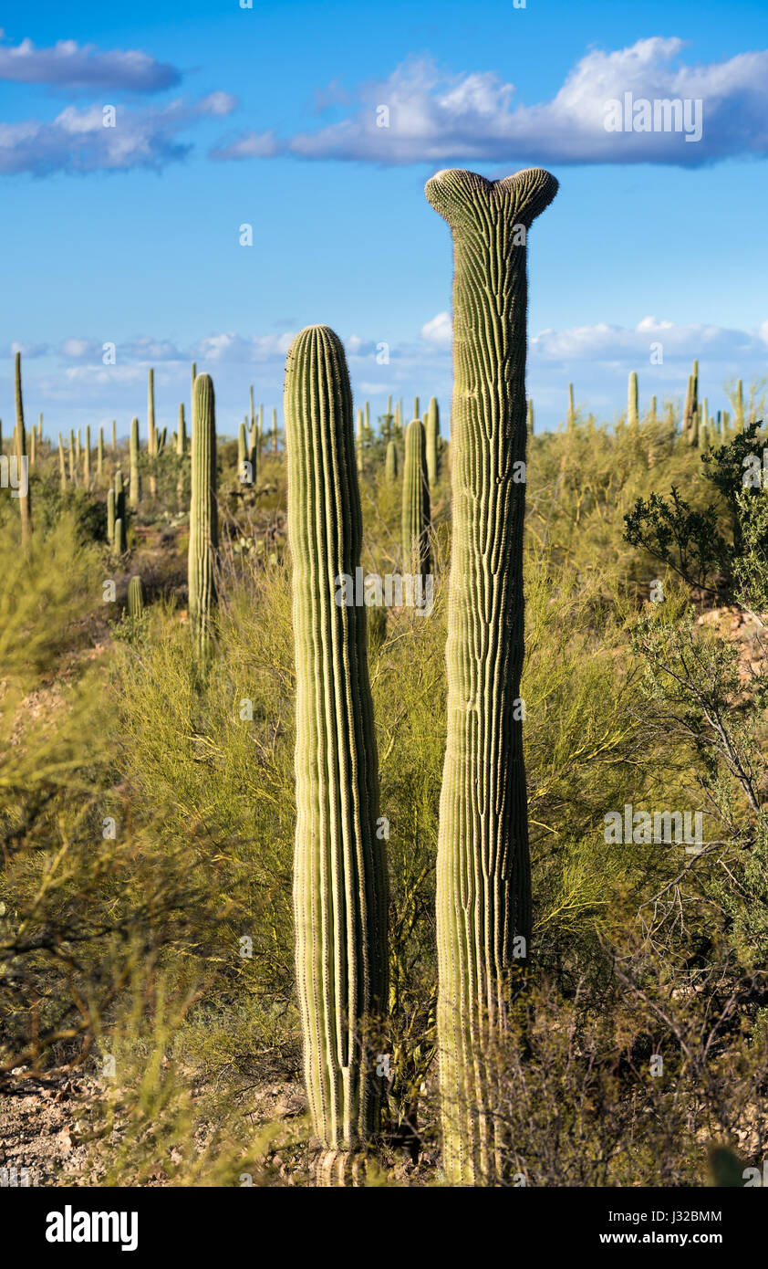 Seltene Saguaro Kaktus Anlage in Saguaro National Park West in der Nähe von Tucson, Arizona, USA Crested Stockfoto