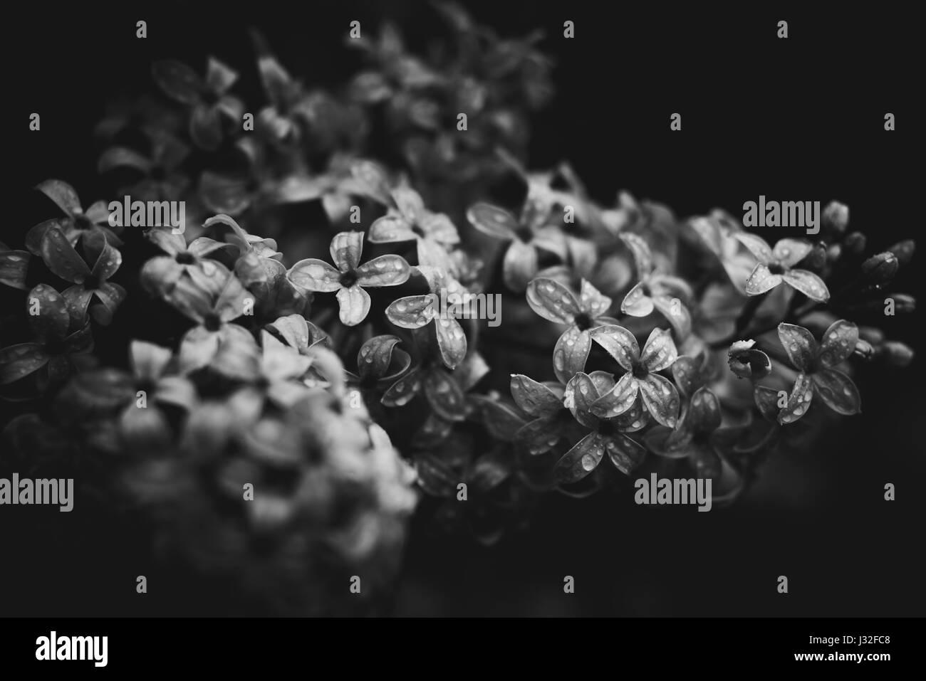 Schwarz Weiss Bild Von Fruhlingsblumen In Einem Garten Nach Dem