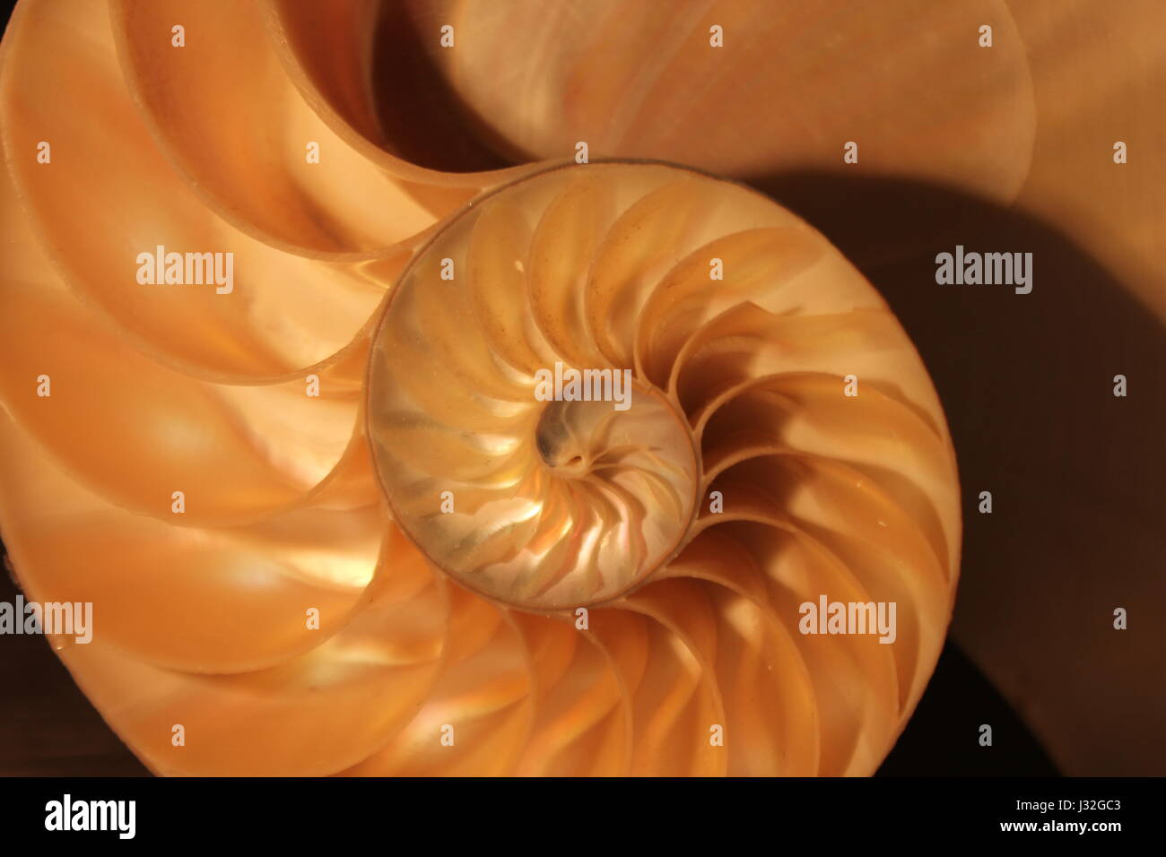 cross snail shell section stockfotos cross snail shell section bilder alamy. Black Bedroom Furniture Sets. Home Design Ideas