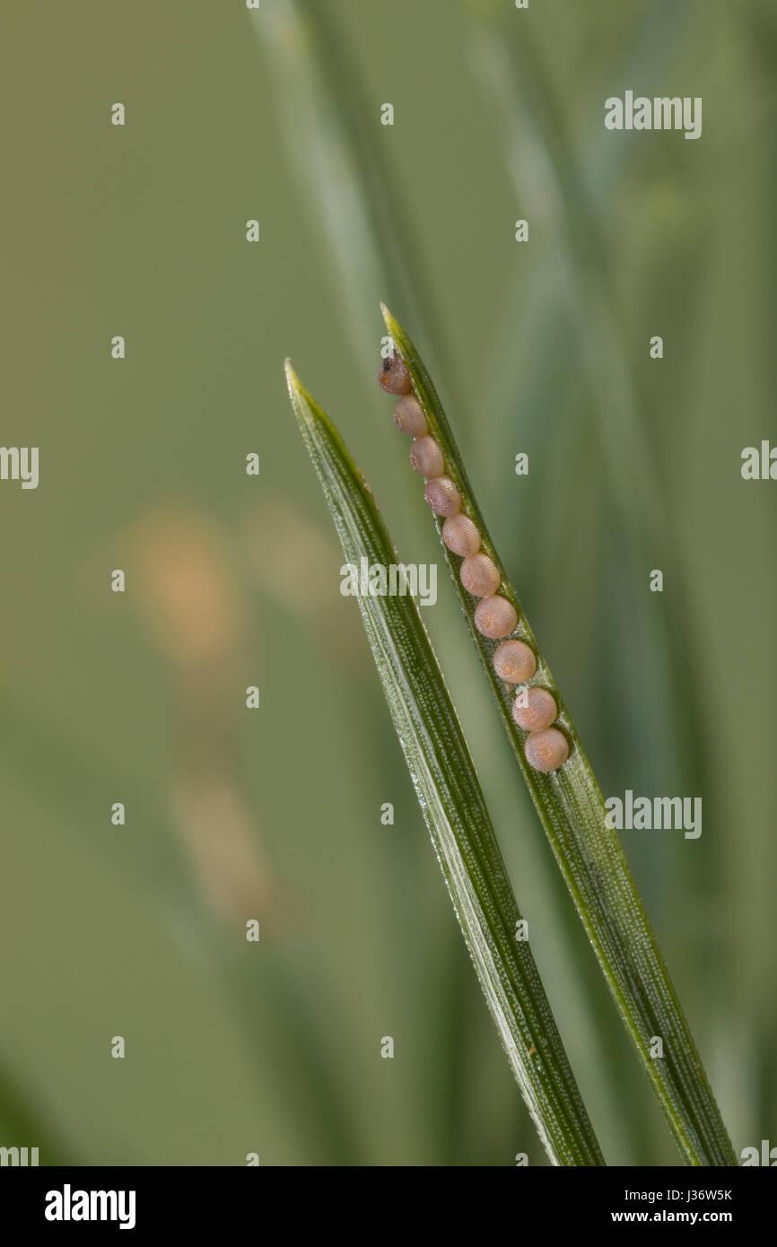 Forleule, Kieferneule, Ei, Eier, Eigelege, Schmetterlingsei, Schmetterlingseier, Panolis Flammea, Panolis Pipiperda Stockbild