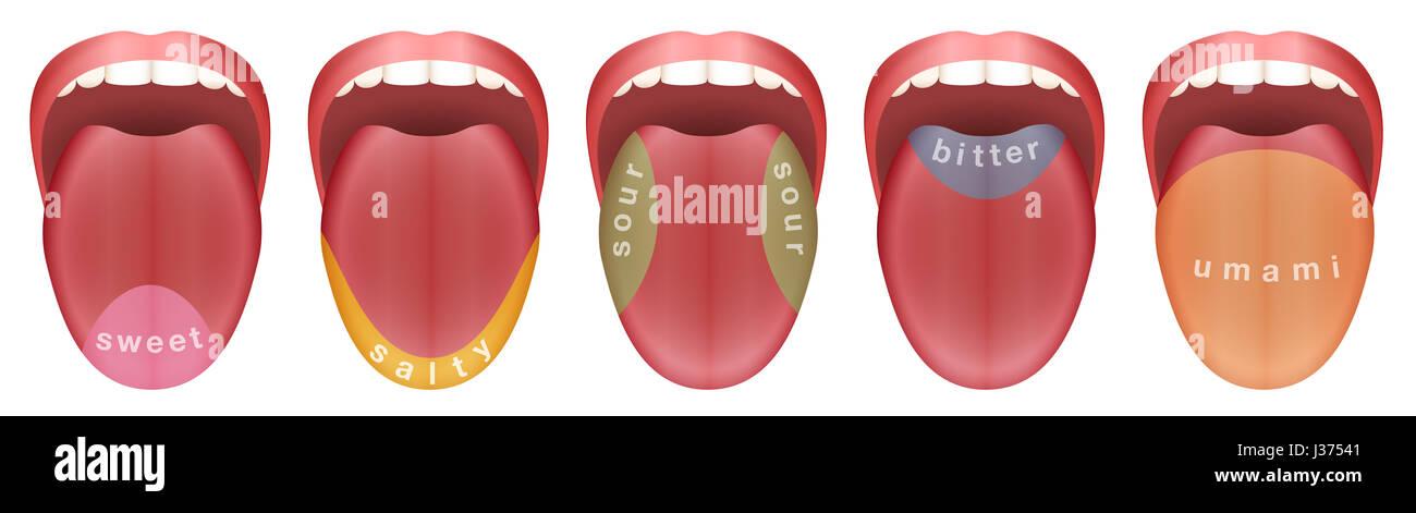 Zunge mit fünf Geschmacksknospen Bereiche - süß, salzig, sauer ...
