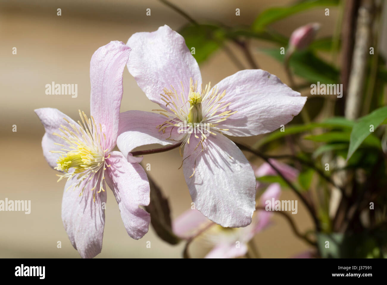 Blass rosa Frühlingsblumen der ausgewählten Form der sommergrüne Kletterpflanze, Clematis Montana Stockbild