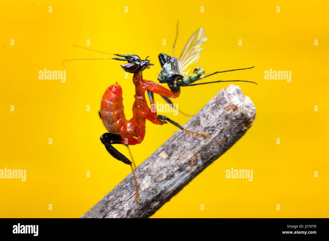 Orchideen-Mantis Level 1 Nymphe. Fütterung auf langes Bein fliegen. Gottesanbeterin, Hymenopus Coronatus. Stockbild