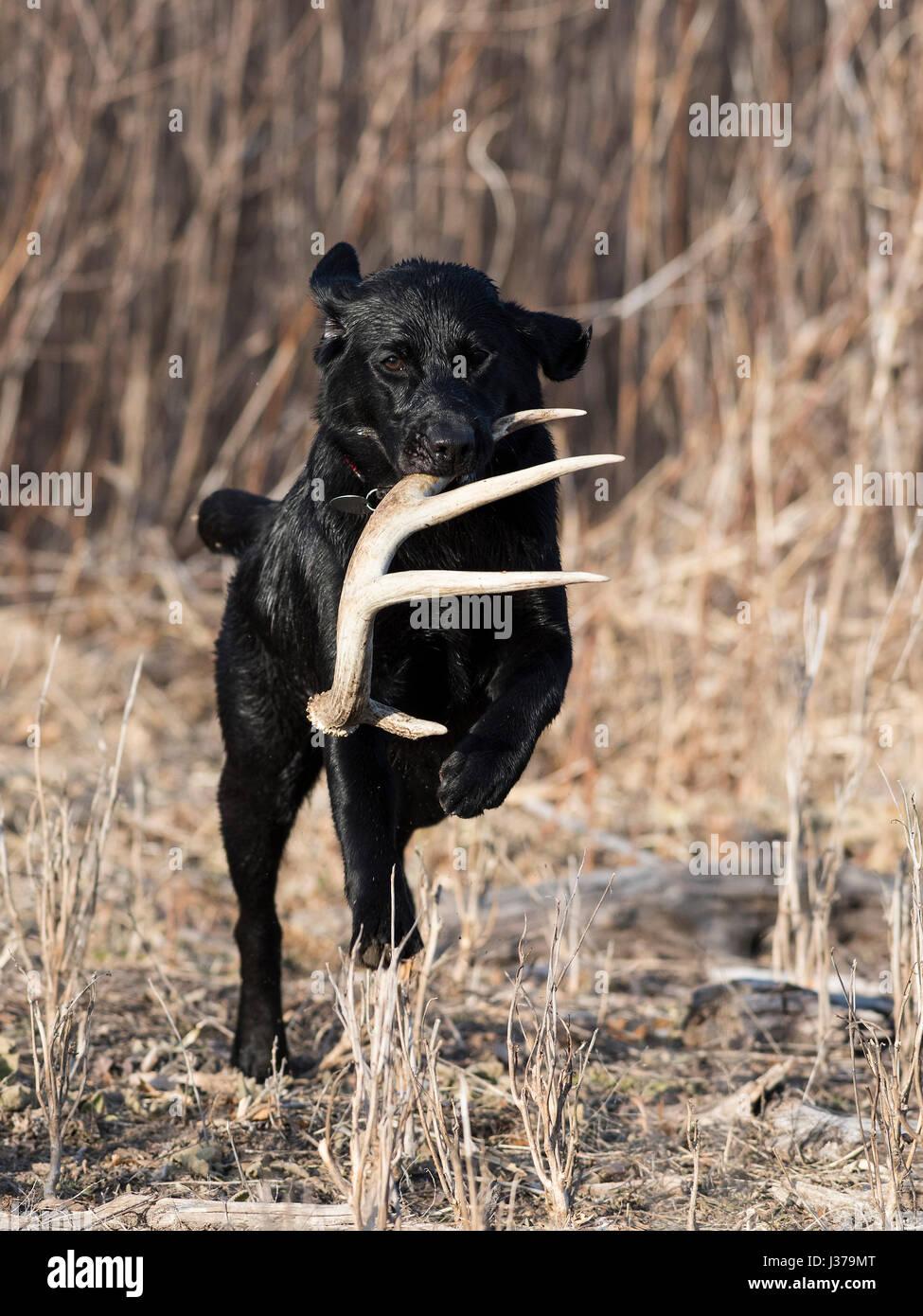 Black Lab Jagd Hund Mit Einem Schuppen Geweih Stockfoto Bild