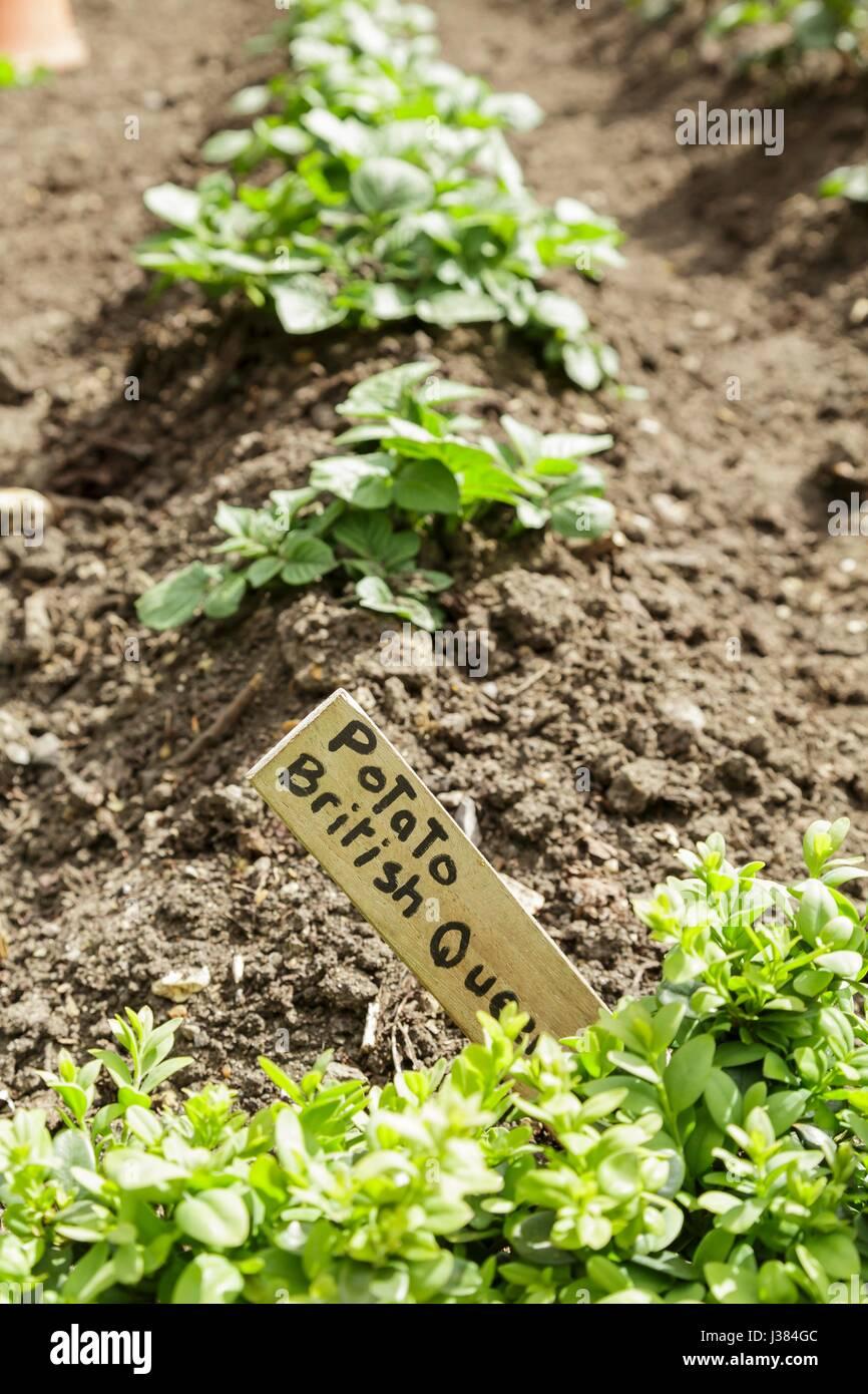 Eine Reihe von Kartoffelpflanzen wachsen in einem Gemüsegarten Stockfoto