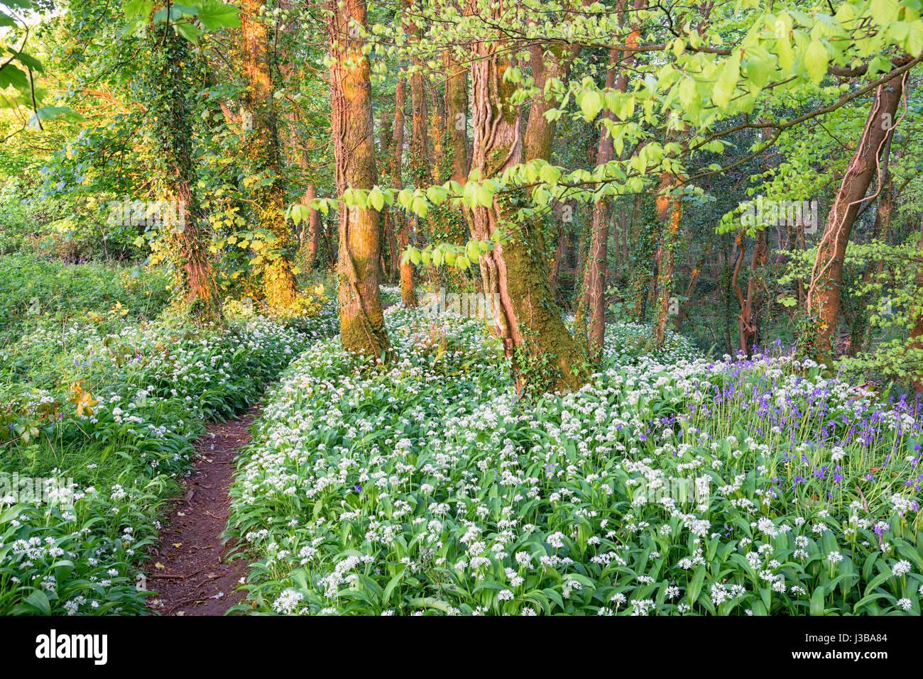 Bärlauch und Glockenblumen in einem Wald nahe Camborne in Cornwall Stockbild