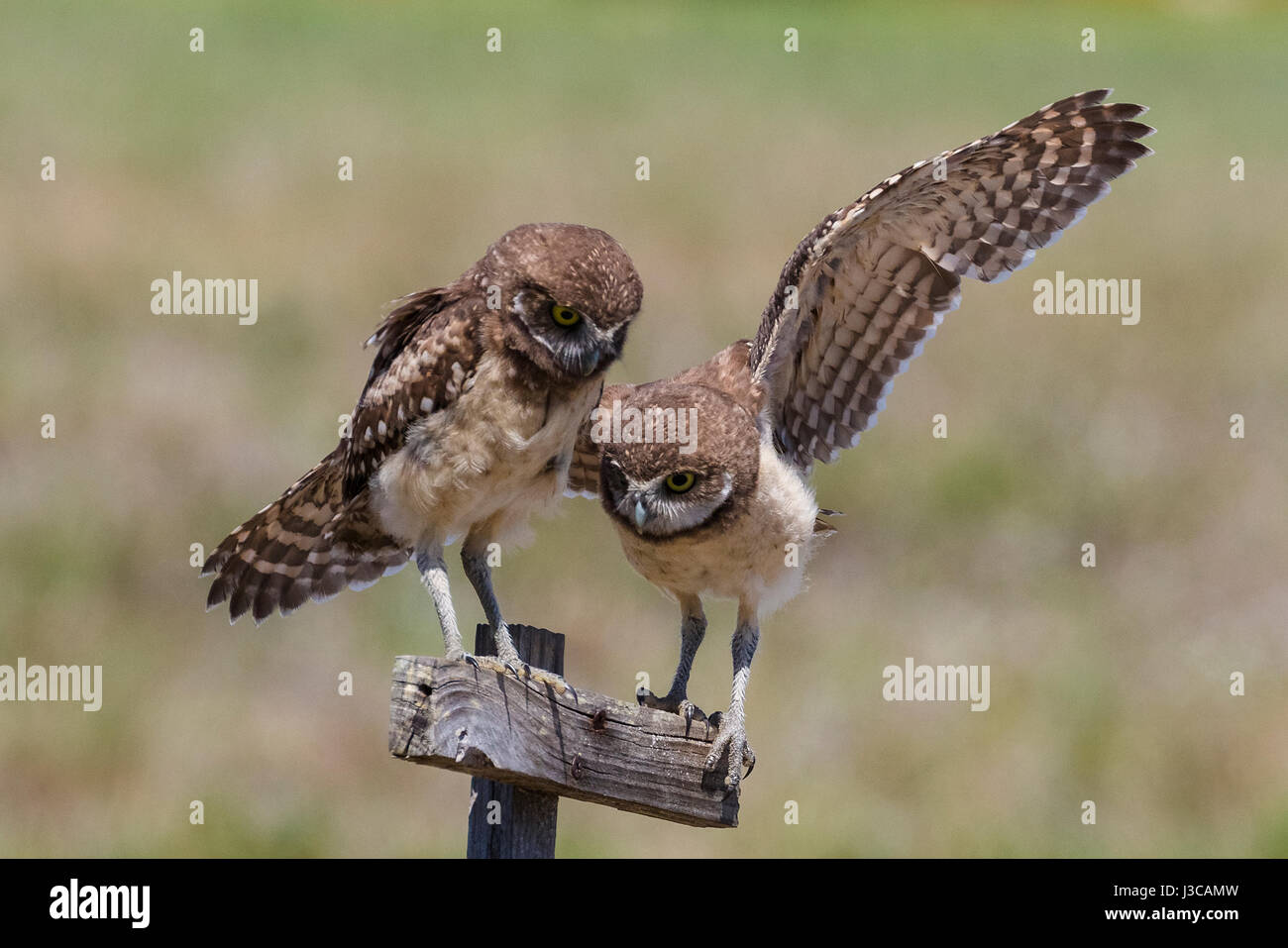Burrowing Owls (Athene Cunicularia) in Wohngegend in Cape Coral, Florida, USA Stockbild