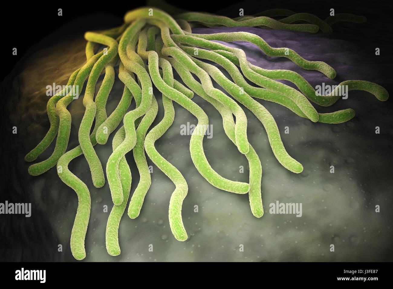 Kolonie von Borrelia Burgdorferi-Bakterien, die bakterielle Agent der Lyme-Borreliose durch Zecken übertragen. Stockbild