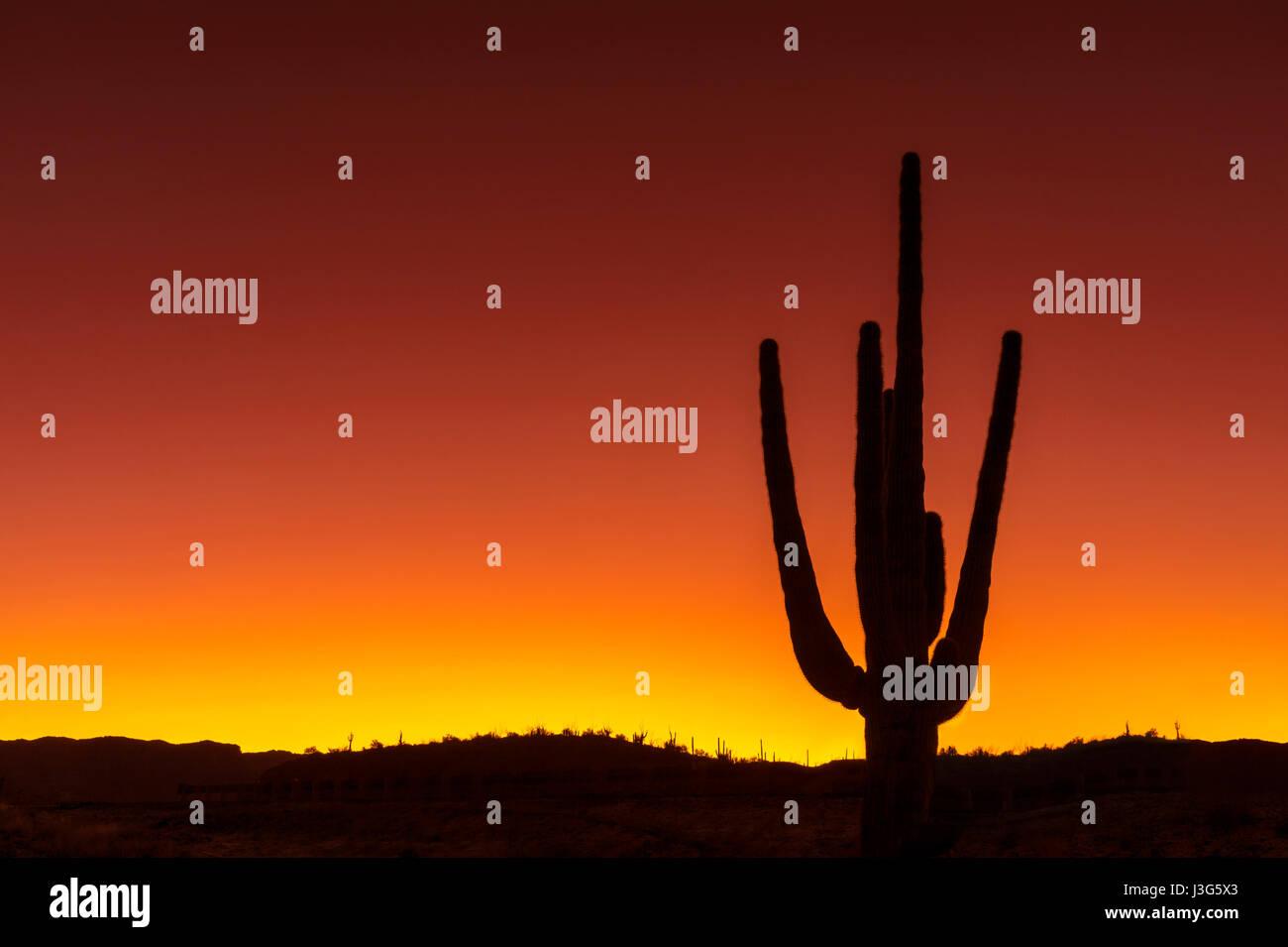 Saguaro Kaktus Wüste, Arizona USA Stockfoto