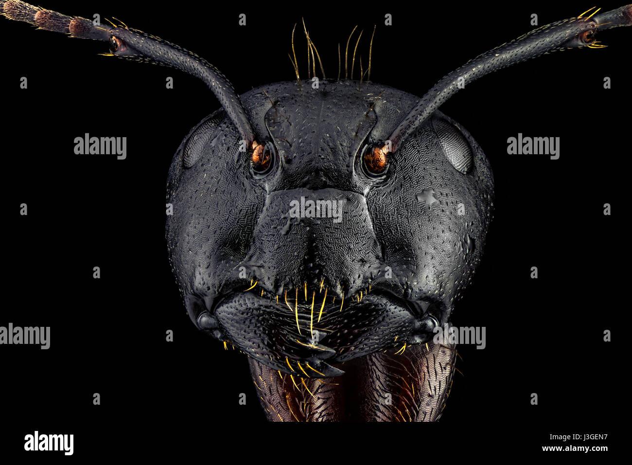 Extreme Makro-Porträt einer Ameise, scharf und detailreich, vergrößert, 4 Mal durch ein Mikroskopobjektiv. Stockbild