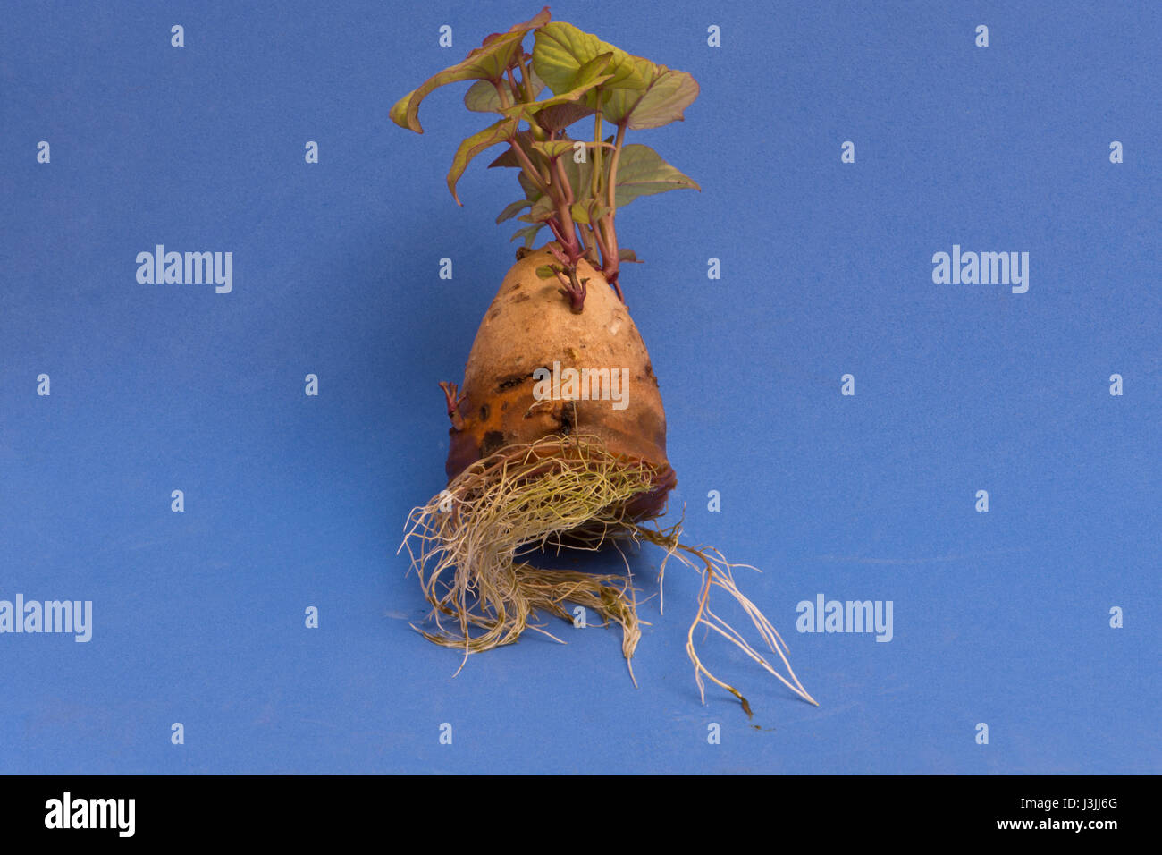 Erste Ausbaustufe Süßkartoffel slip Stockbild