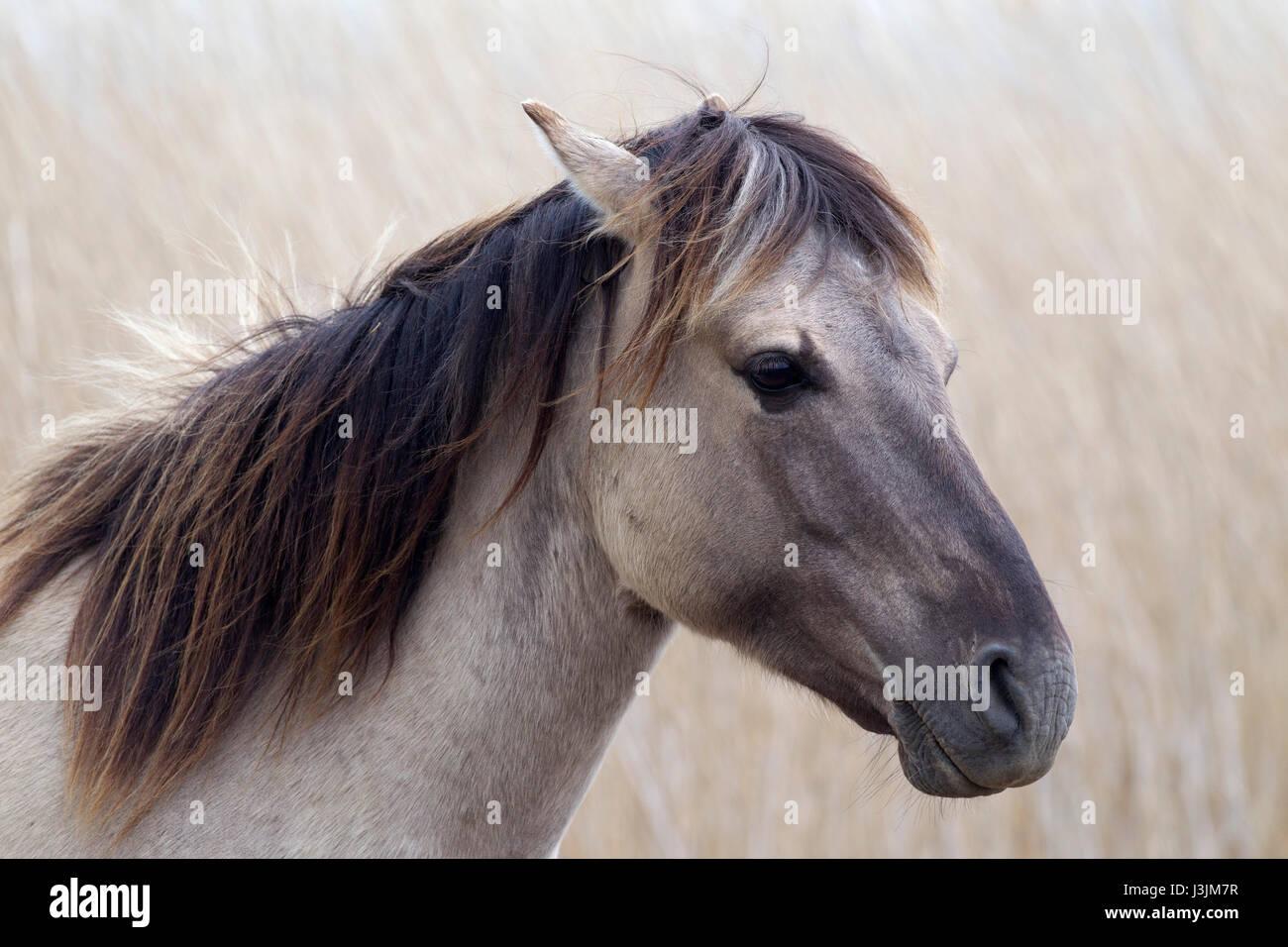 Konik Pony, Porträt von alleinstehenden in Schilfbeetes, Minsmere, Suffolk, Großbritannien Stockbild