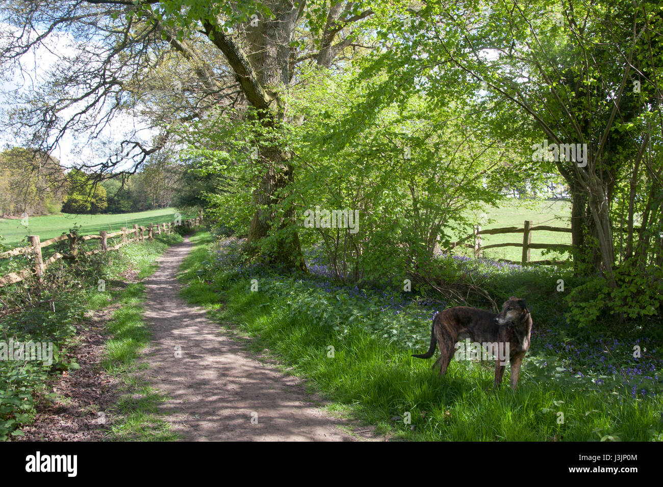 Bluebell Woods in Lynchmere nr Haslemere, Surrey Stockbild