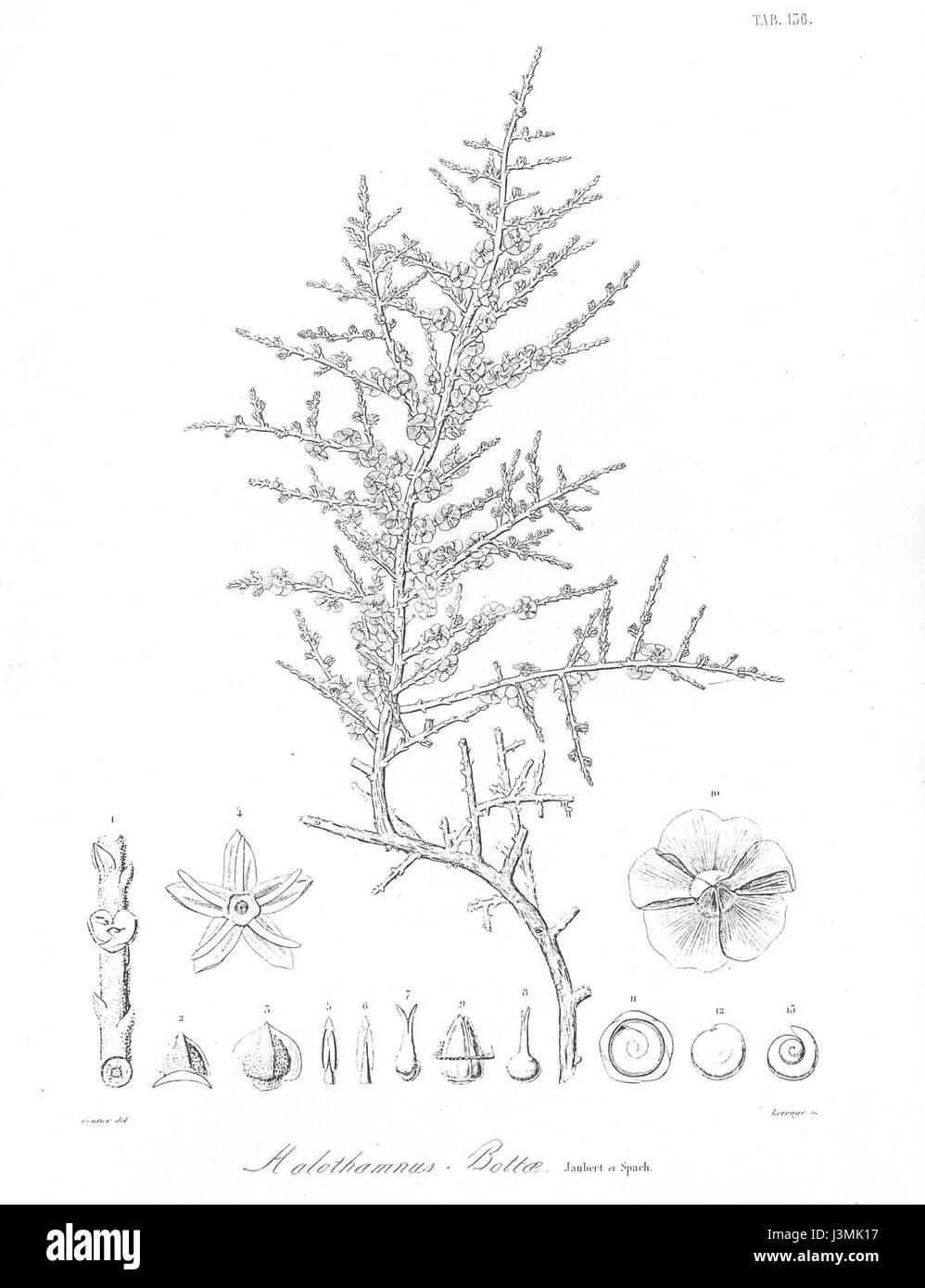 Halothamnus Bottae von Jaubert & Spach Stockbild