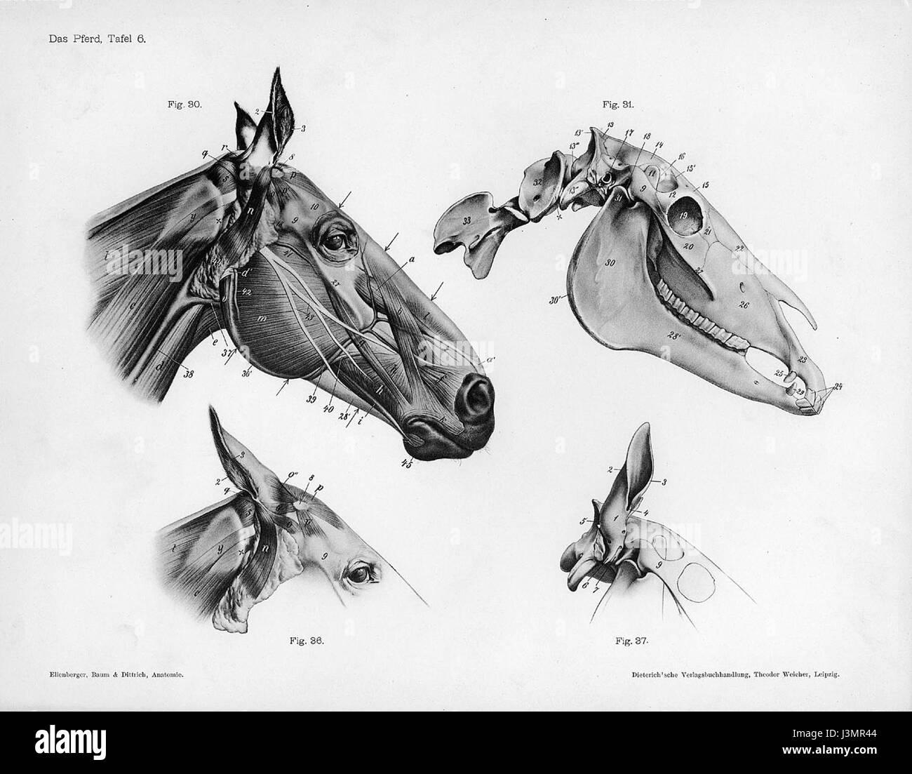 Horse Anatomy Illustration Stockfotos & Horse Anatomy Illustration ...