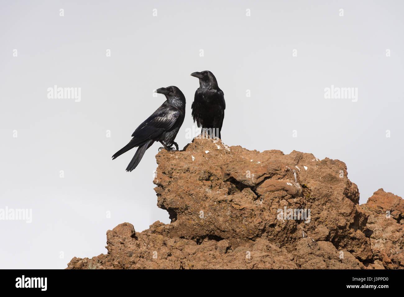 Kolkrabe, nördlichen Rabe, Roque de Los Muchachos, Tijarafe, La Palma, Spanien, Corvus Corax, Stockbild