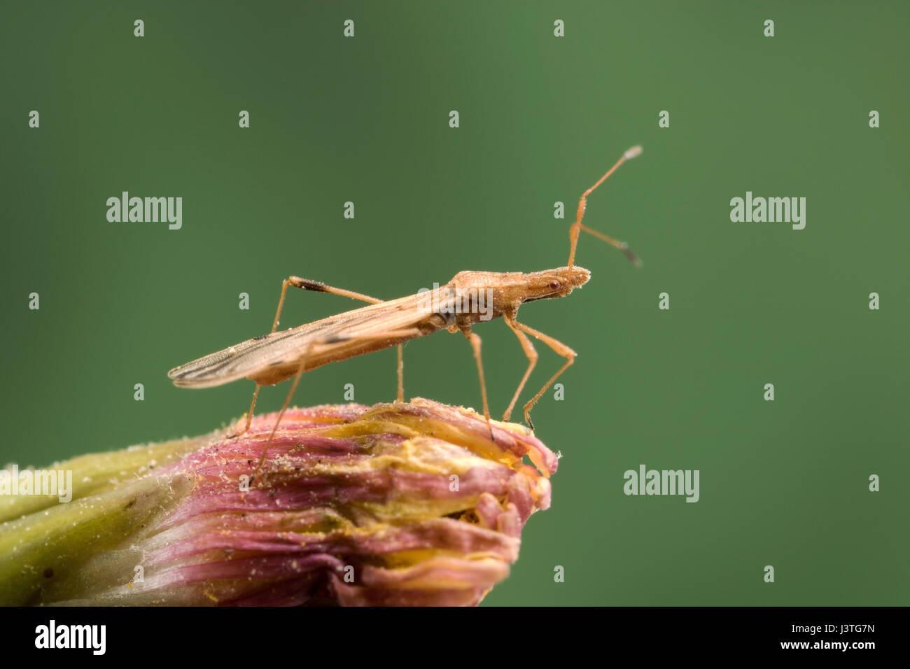 Kleine längliche Körper Käfer Stockbild
