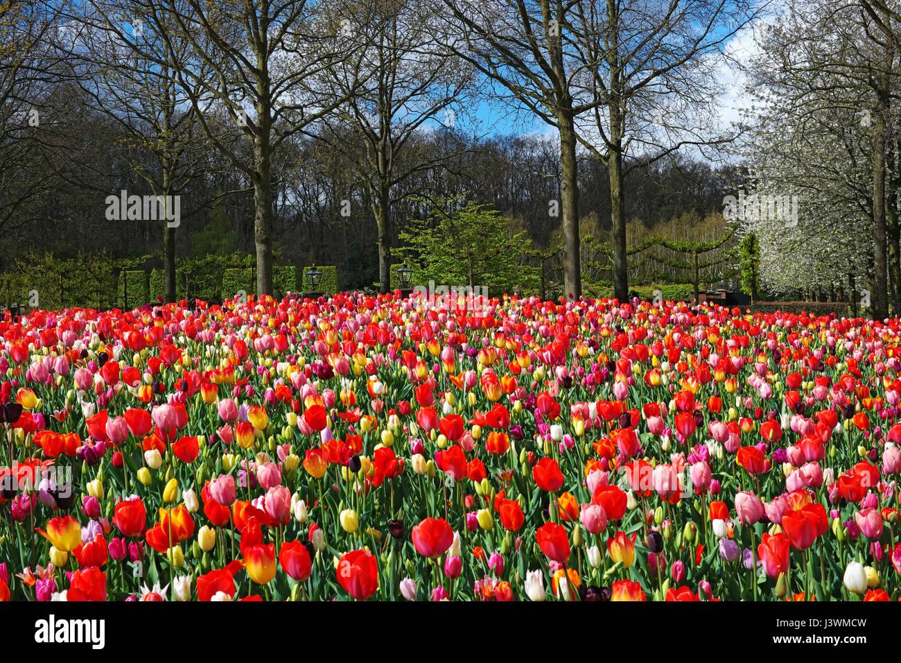 sch ne landschaft mit bl henden bunte tulpen keukenhof garten niederlande fr hling im freien. Black Bedroom Furniture Sets. Home Design Ideas