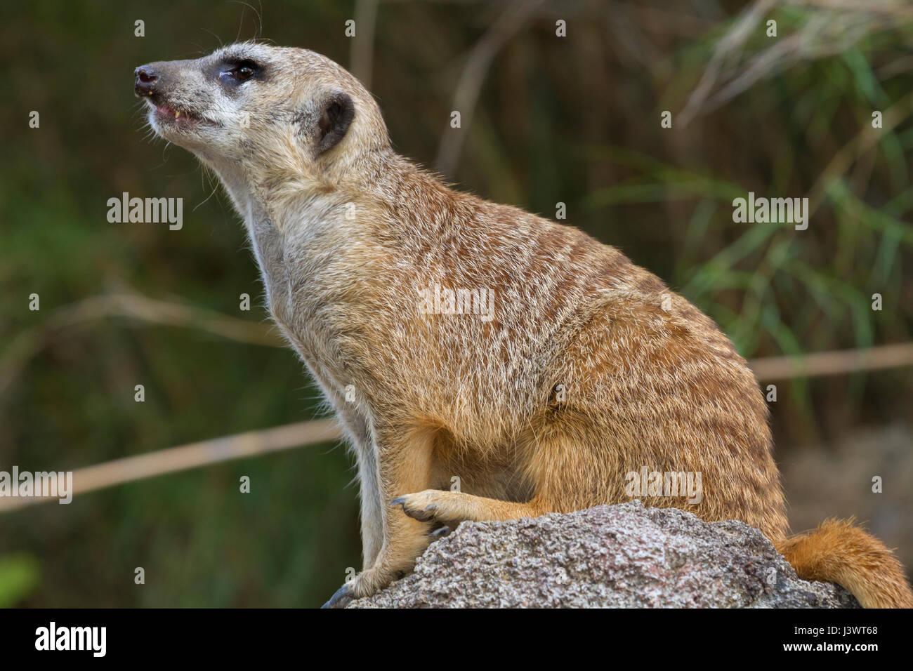 Die seitliche Ansicht des Sitzens meerkat Stockbild