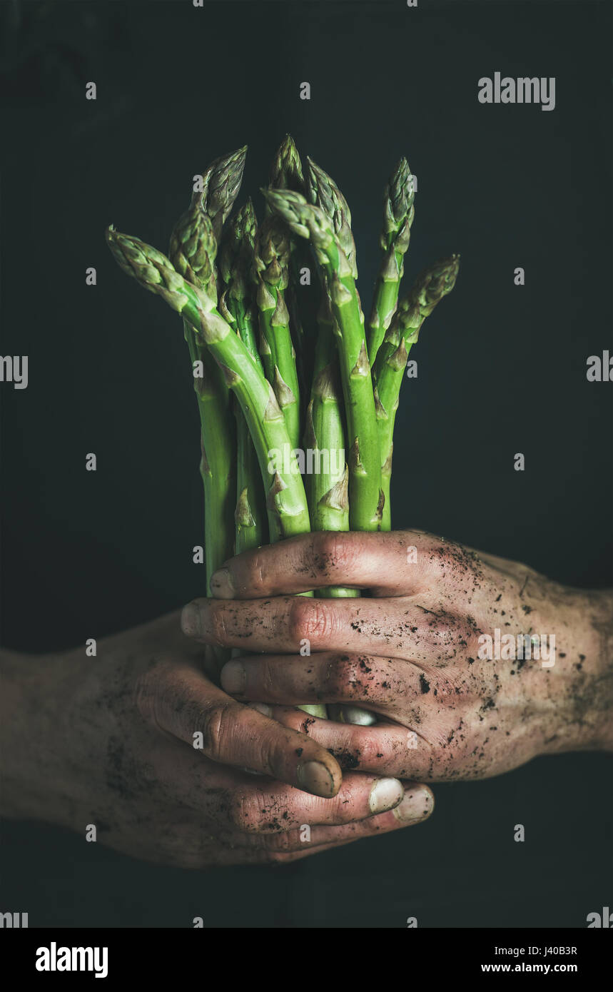 Handvoll frische ungekochte saisonal Spargel in schmutzige Mann Hände Stockfoto