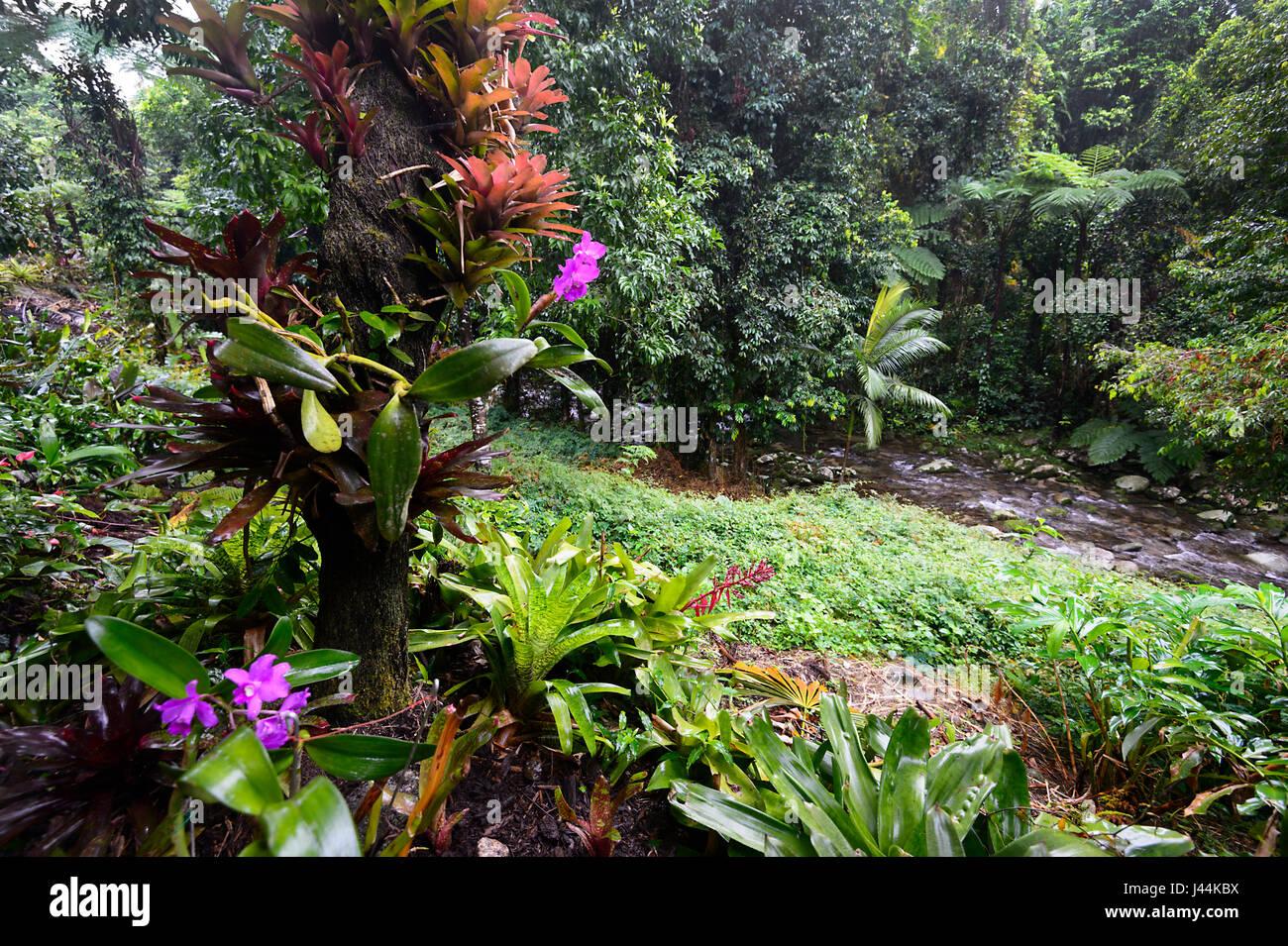 Orchideen im tropischen regenwald  Orchideen und Bromelien in einem tropischen Garten im Regenwald ...
