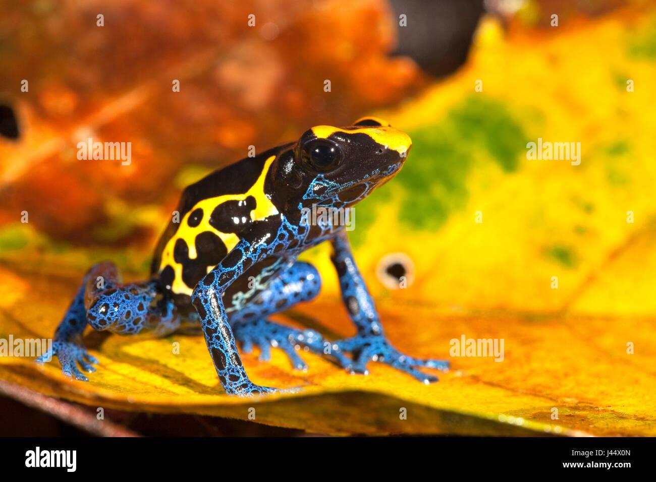 Foto vom färben Dart Frosch auf dem Waldboden zwischen farbige Blätter Stockbild