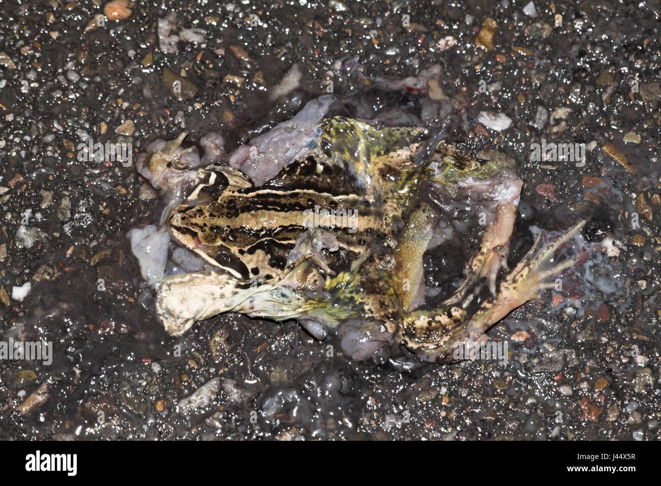 ein Moor-Frosch wird durch den Verkehr auf dem Deich getötet. Stockbild