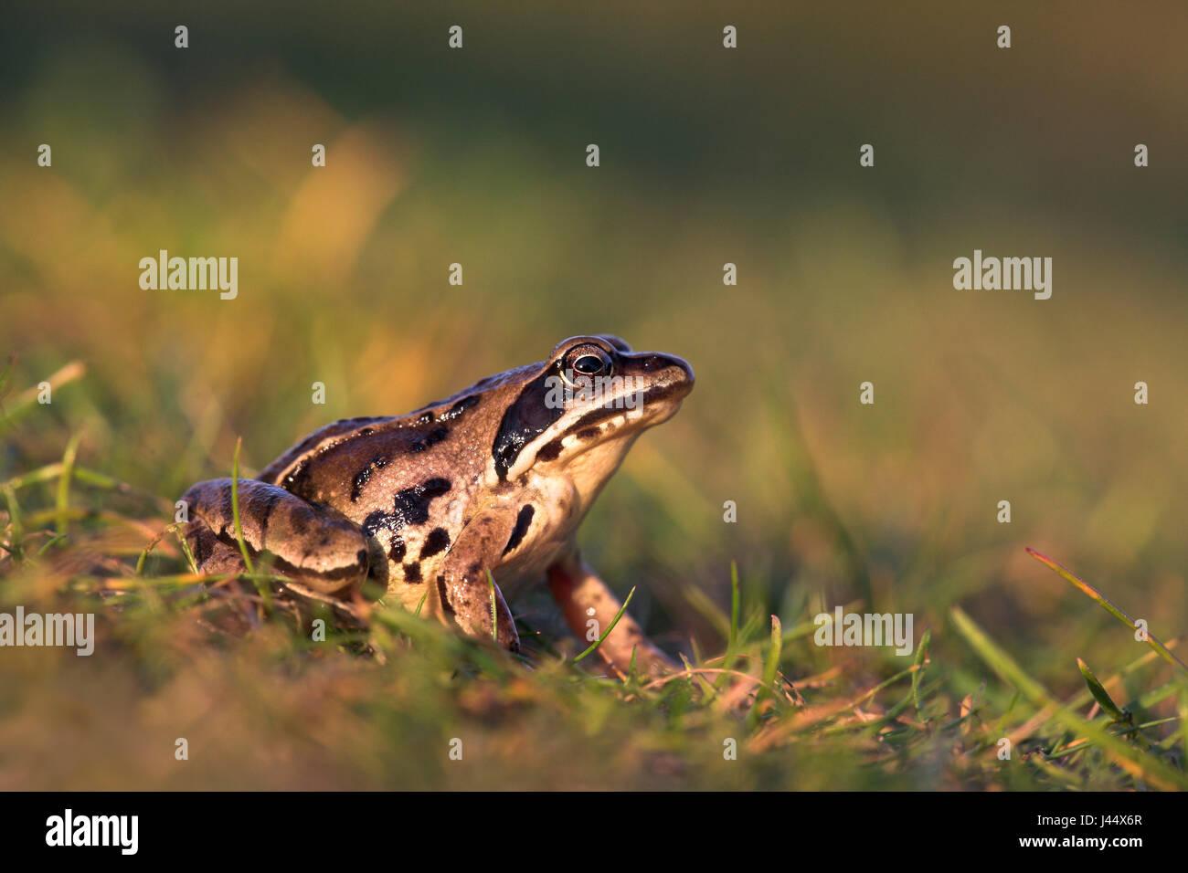 Frosch Sideview anlegen Stockbild