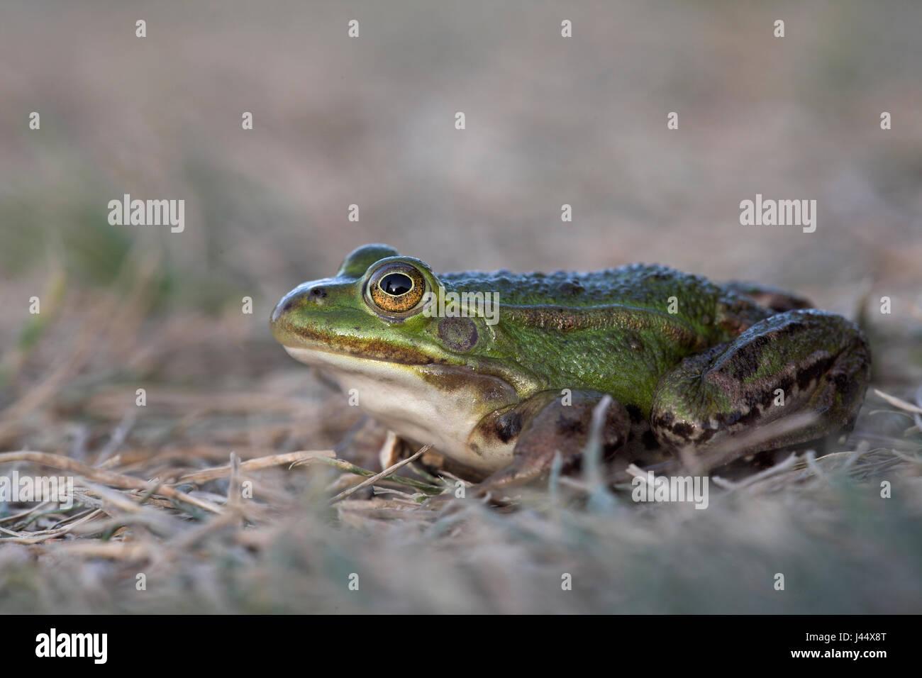 Pool-Frosch auf Golfplatz Stockbild
