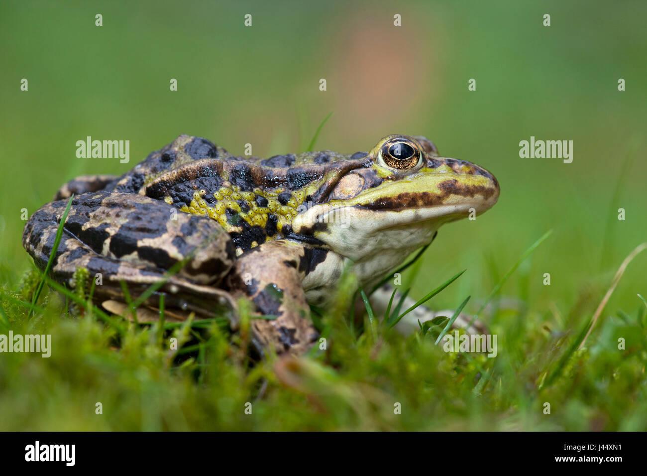 Foto von einem Seefrosch im grünen Rasen vor einem grünen Hintergrund Stockbild