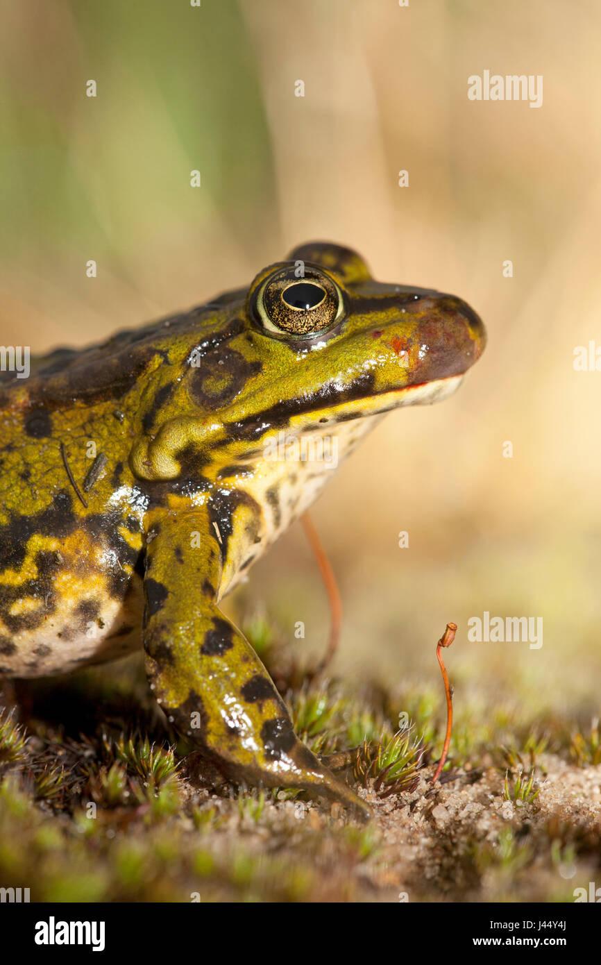 Foto von einem grünen Frosch mit ranavirus Stockbild