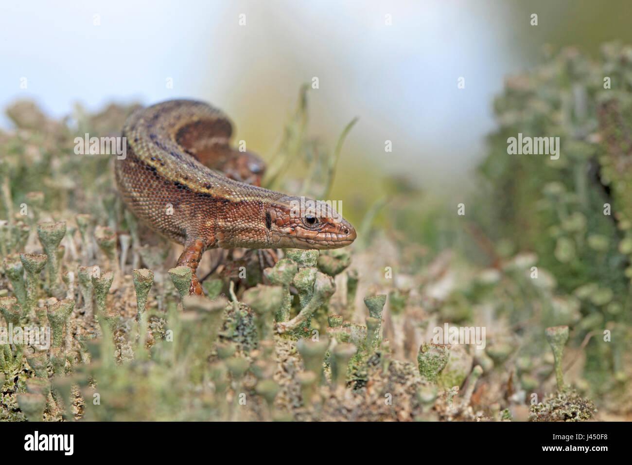 Vivipare Eidechse (Zootoca Vivipara) Stockfoto