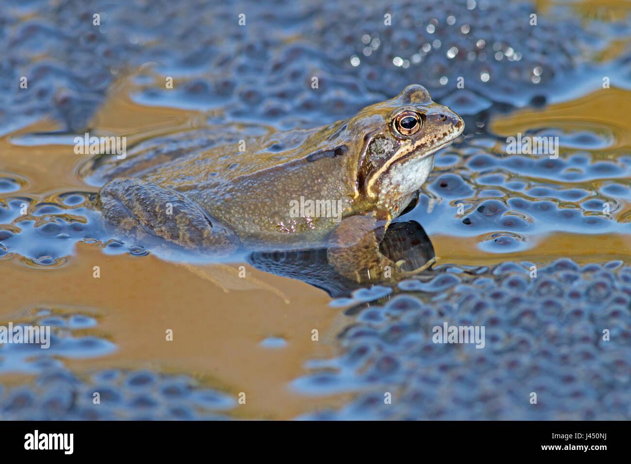 gemeinsamen Frosch männlich auf Frosch-Laich während der Paarung Stockbild