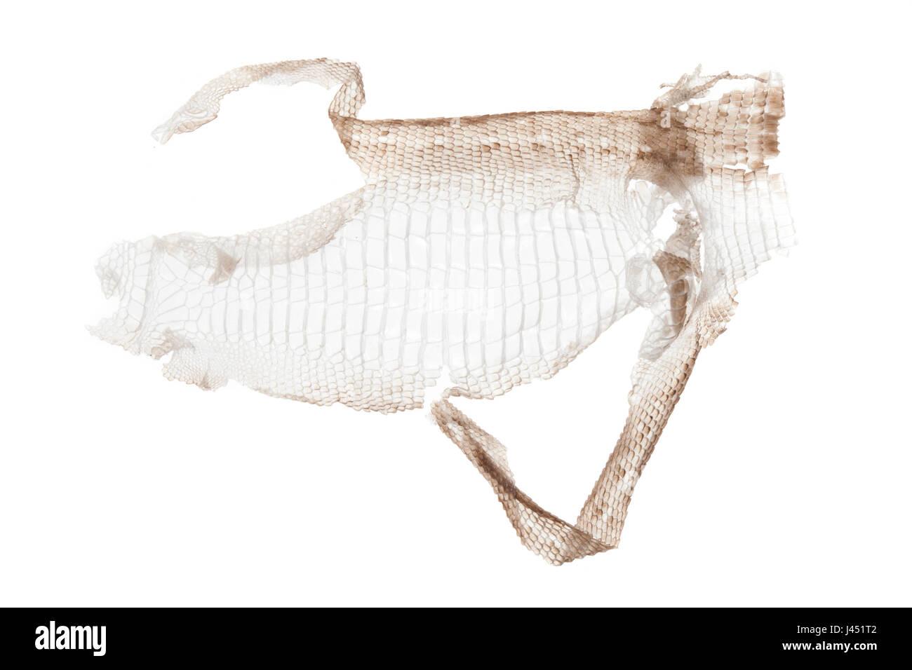 Zootoca Vivipara; Sumpf der gemeinen Eidechse Stockfoto