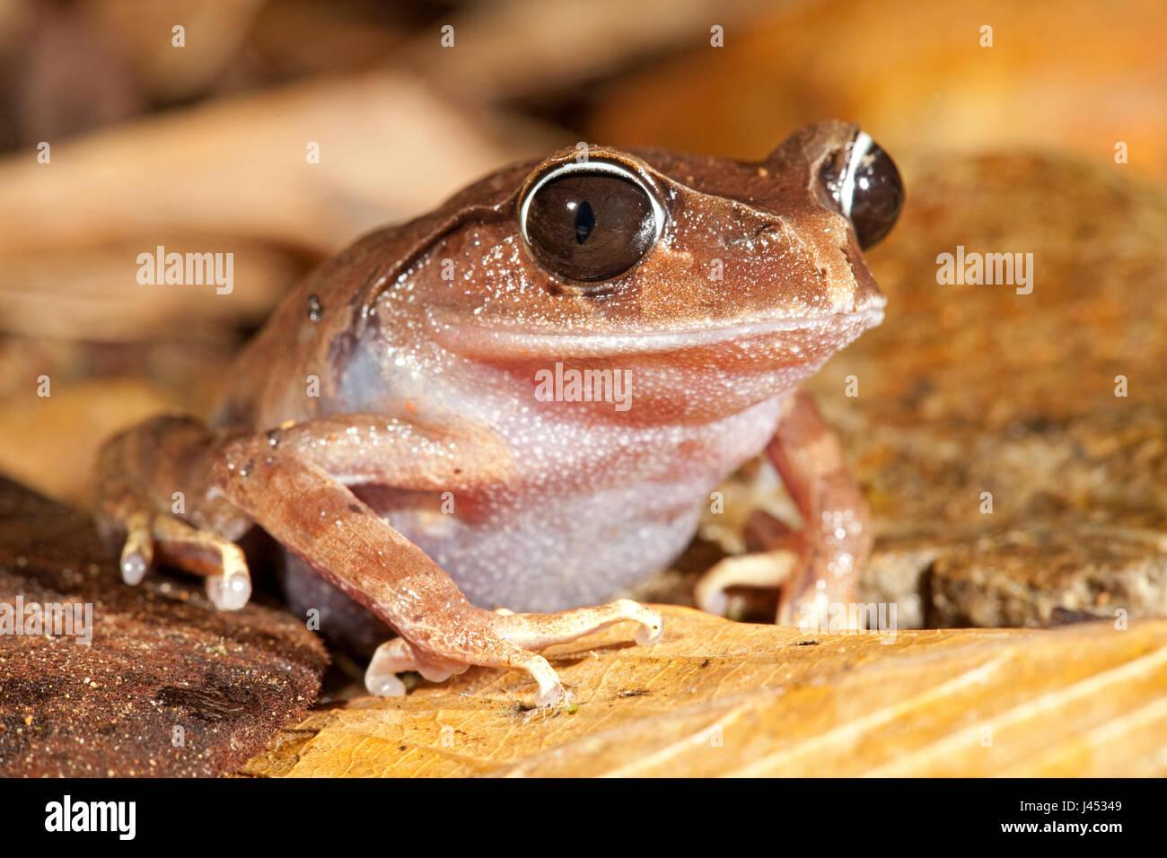 Foto von montane Wurf Frosch Stockbild