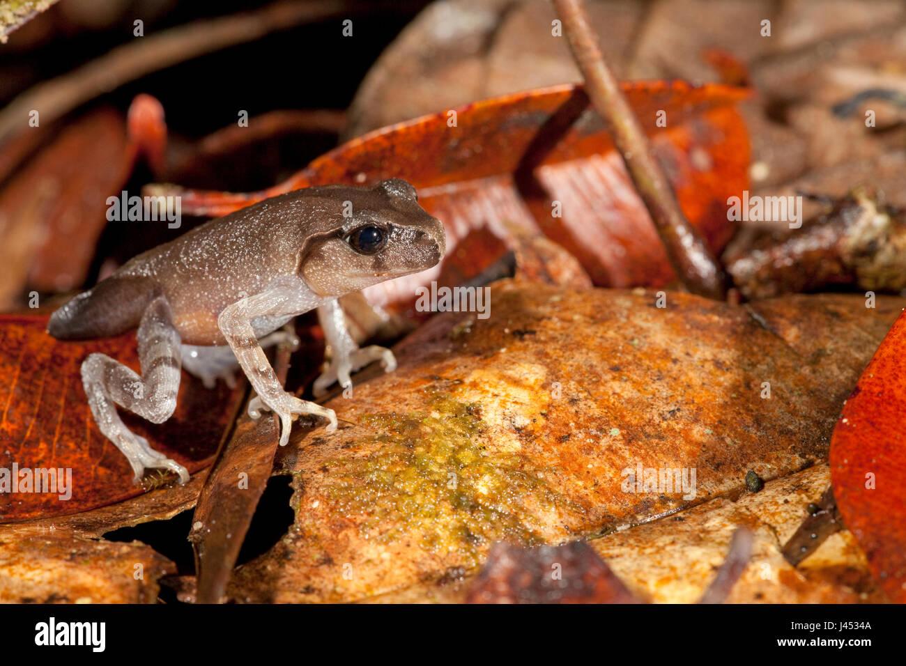 Foto von einer nur Metamorphosen Montane Wurf Frosch Stockbild