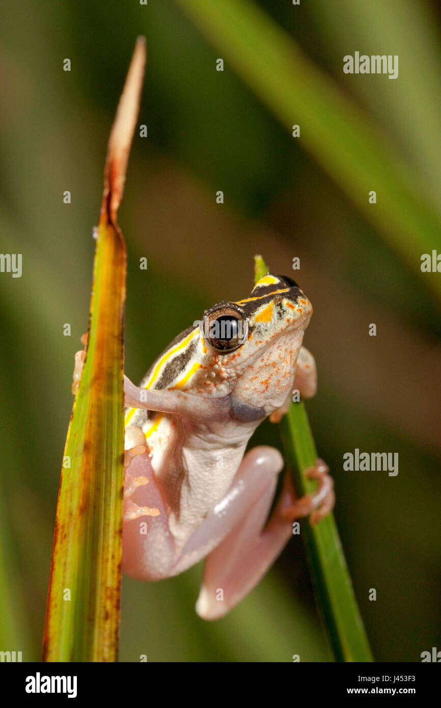 Foto van Een Rietkikker Op Een Stengel; Foto eines gemalten Reed-Frosch auf einer Wiese; Stockfoto