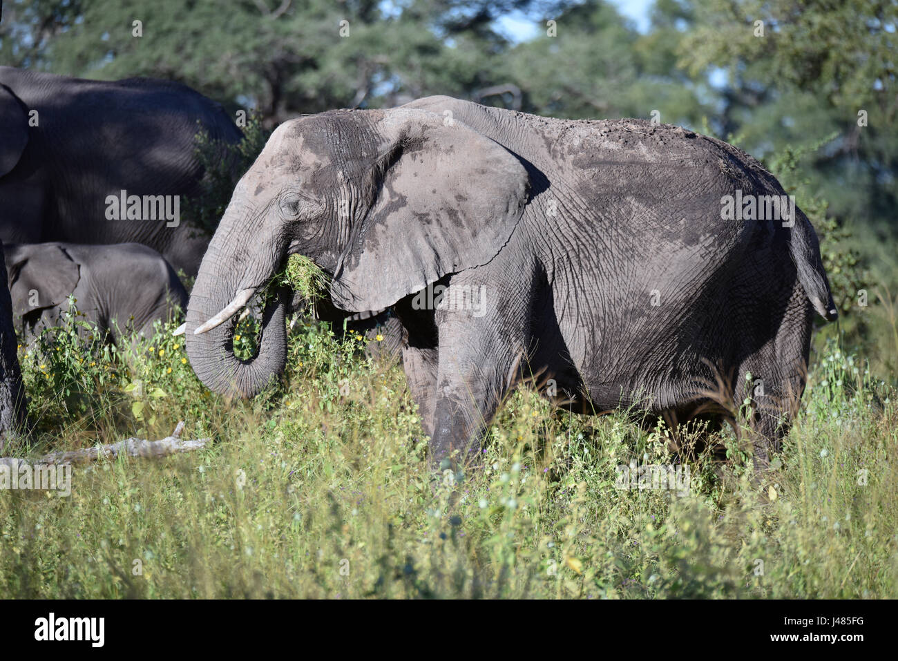 elefant im bwabwata nationalpark weiden aufgenommen am ist der afrikanische elefant. Black Bedroom Furniture Sets. Home Design Ideas