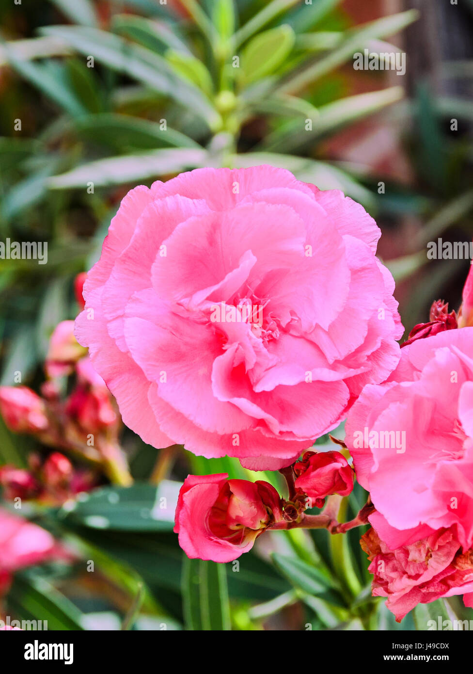 Rosa Blüten von Nerium Oleander, immergrüner Strauch, Familie Lobelia. Stockfoto