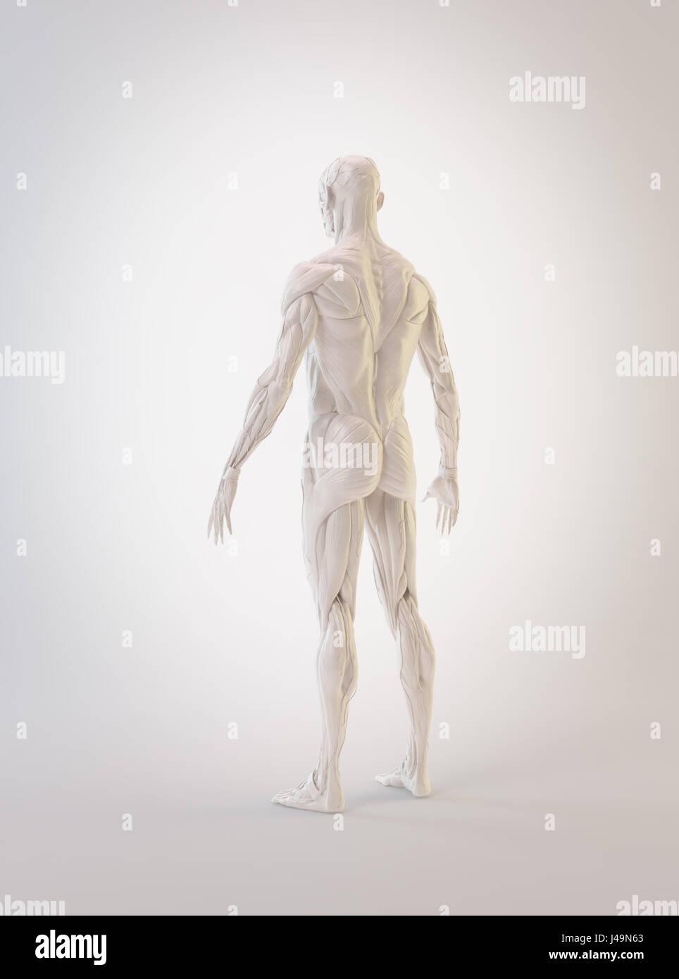 Ausgezeichnet Anatomie Der Muskeln Bilder - Anatomie Ideen - finotti ...