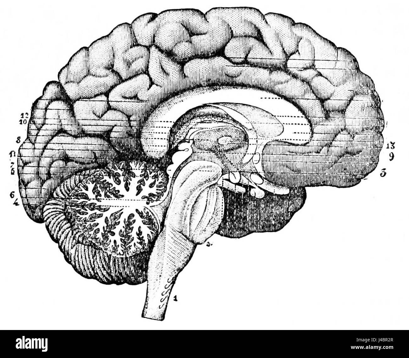 Section Of The Brain Stockfotos & Section Of The Brain Bilder ...